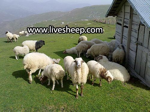 گوسفند طالشی و اتابای