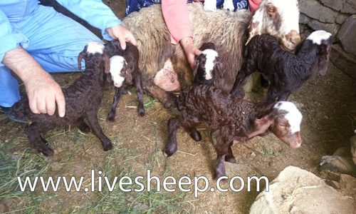 مروری بر تشخیص آبستنی ، زایمان و مرحله ی پس از زایمان در گوسفند