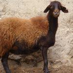 گوسفند اهلی