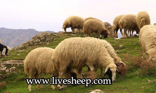 همه چیز راجع به گوسفندان