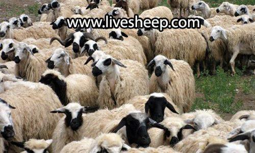 گوسفند ماکویی