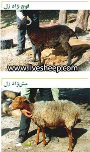 گوسفند زل