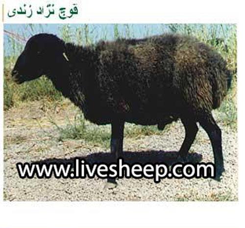 گوسفندان زندی