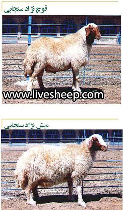 گوسفند سنجابی