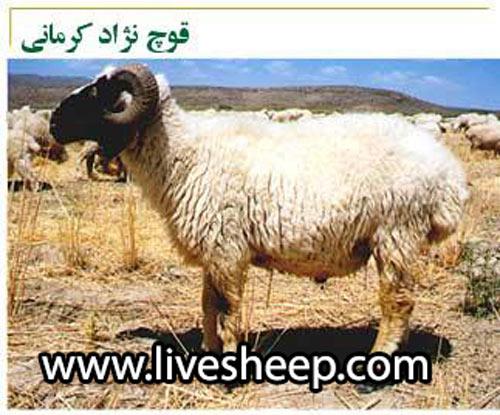 گوسفند نژاد کرمانی