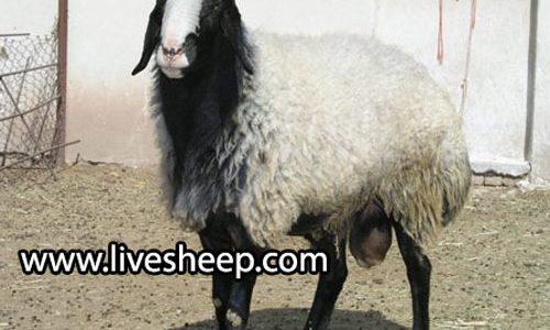 گوسفند نژاد شال