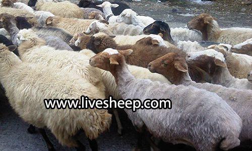 نژادهای گوسفند زنده