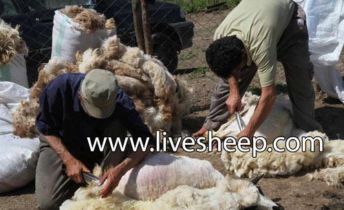 راههای افزایش کیفیت پشم گوسفند با تغذیه مناسب