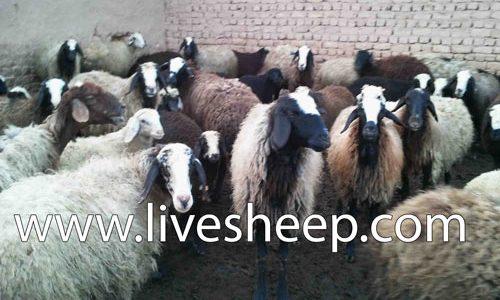 محاسن و معایب پرورش گوسفند