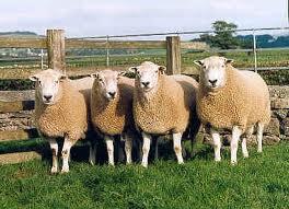 ترکیب ژنتیکی گوسفند نژاد لری با نژاد رومانوف