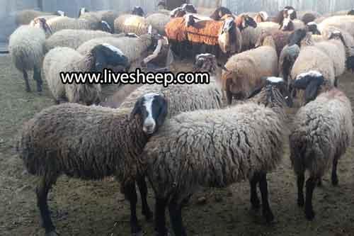 خرید و فروش دام زنده در تهران
