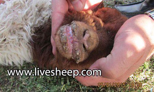 بیماری های شایع در گوسفندان