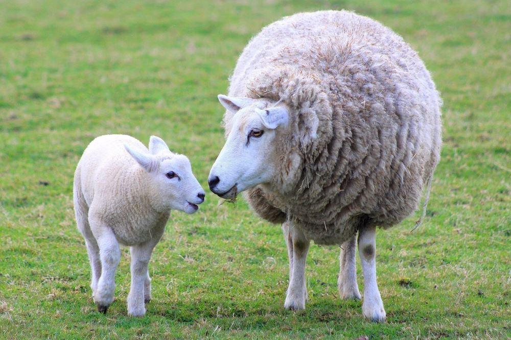 گوسفند زنده پیام ارایه دهنده بهترین دام با کیفیت کافیست با ما تماس گرفته تا دام مورد نظر خود را در اسرع وقت همراه با قصاب و باسکول در محل خود دریافت نمایید.