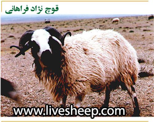 گوسفند فراهانی