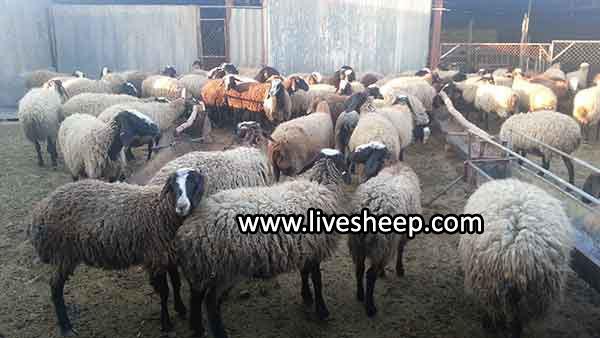 مواد قابل استفاده درتغذیه گوسفند پرواری