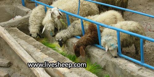 پرورش گوسفندان به روش پرواربندی