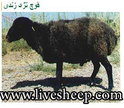 گوسفند زندی