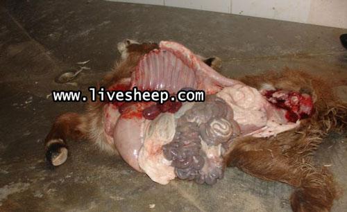 بیماری آنتروتوکسمی گوسفند زنده