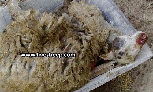 بیماری تب برفکی در بین گوسفندان