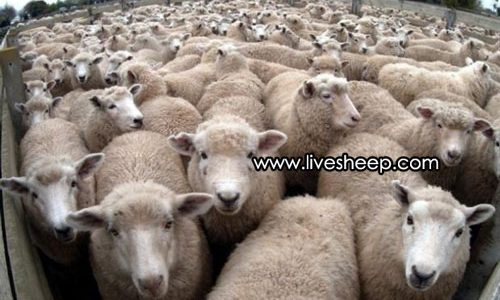 آشنایی با انوع نژاد گوسفندان