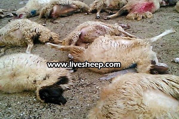 آشنایی با انگلهای گوسفند