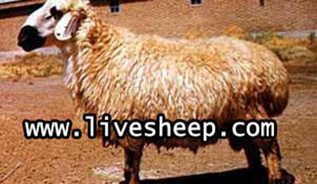 گوسفند نژاد بلوچی