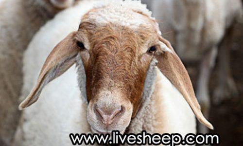 گوسفندان نژاد ایرانی