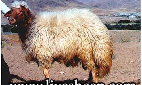 گوسفند نژاد کردی