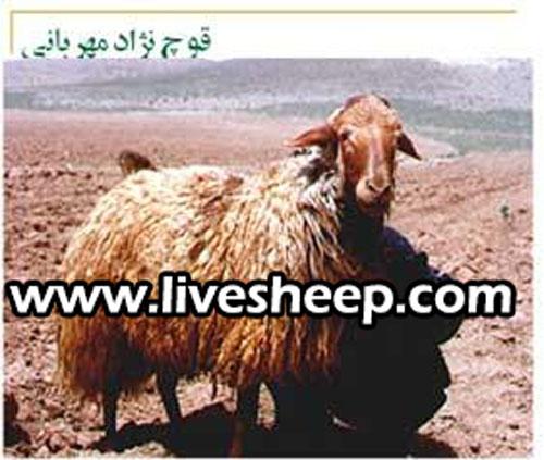 گوسفند نژاد مهربان