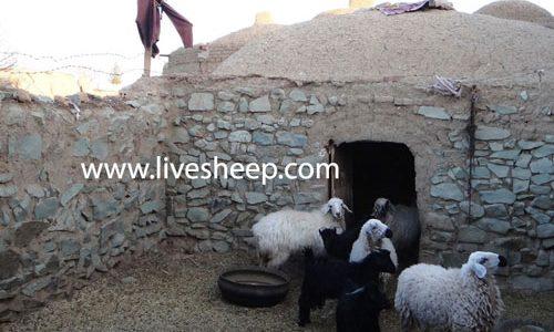 ساختمان و محل نگهداری گوسفند زنده