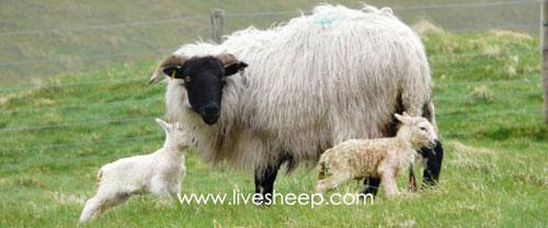 گوسفند نژاد صورت سیاهها اسکاتلند (Black-Faced Highland)