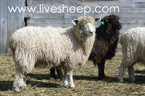 گوسفند نژاد کاتسولد (Cotswold)