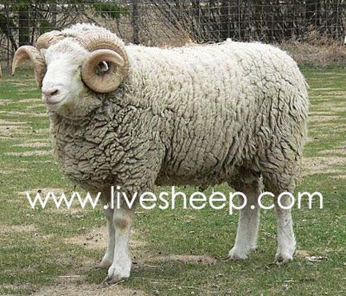 گوسفند نژاد دورست (Dorest)