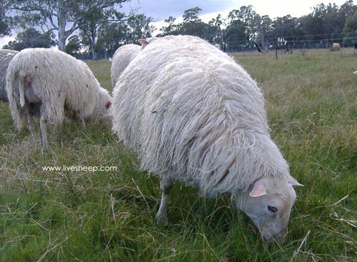 گوسفند فنلاندی(Finn sheep)