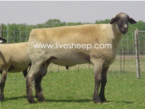 گوسفند نژاد همشایر (Hampshire)