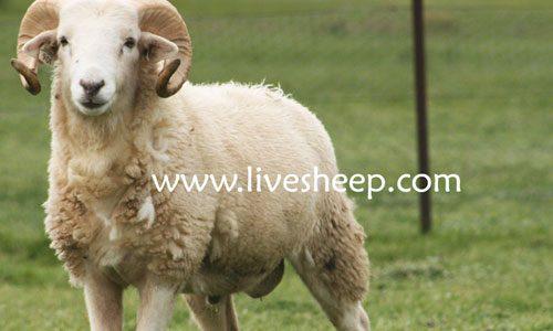 گوسفند