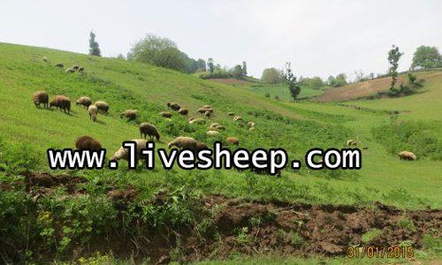 اهمیت استفاره از مراتع در پرورش گوسفند