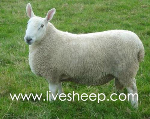 گوسفند نژاد لایسستر (Leicester)