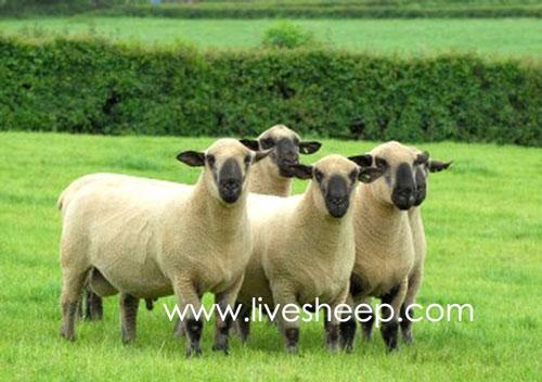 گوسفند نژاد مونتادال(Montadal)
