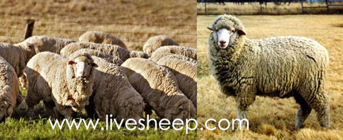 گوسفند نژاد پاناما (Panama)