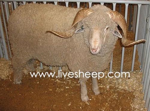 گوسفند نژاد رامبویه(Rambouillet)