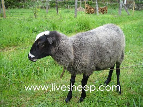 گوسفند نژاد رومانف (Romanov)