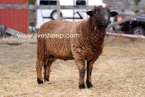 گوسفند نژاد راملدال (Romeldale)