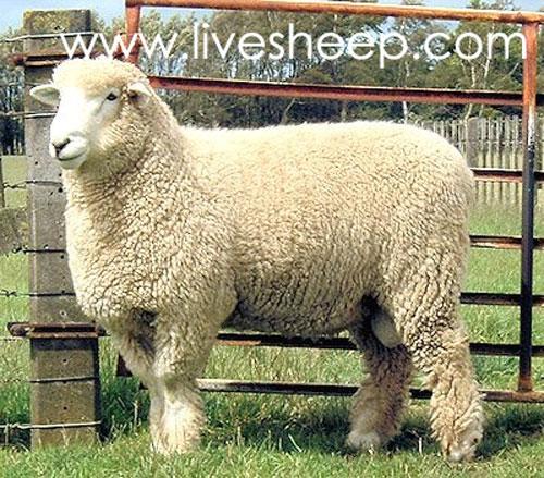 گوسفند نژاد رامنی (Romney)