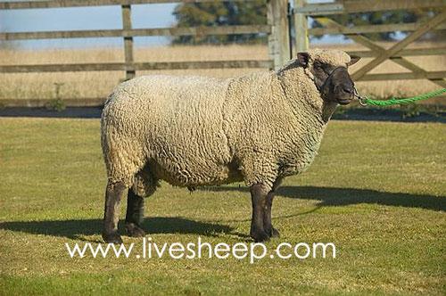 گوسفند نژاد شروپ شایر (Shropshire)