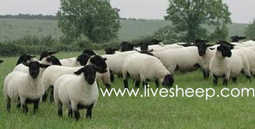 گوسفند نژاد سافک (Suffolk)