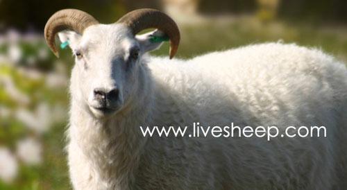 گوسفند نژاد بدون دم (Tailless)