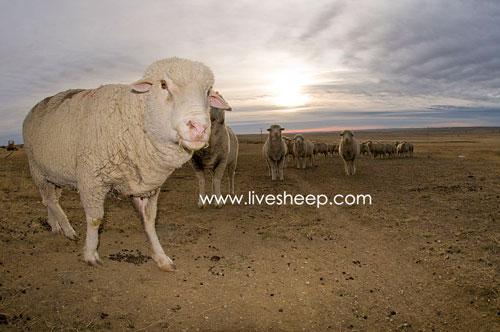 گوسفند نژاد تارگی (Tar ghee)
