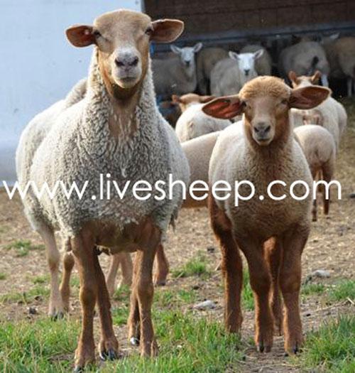 گوسفند نژاد تونس (Tunis)