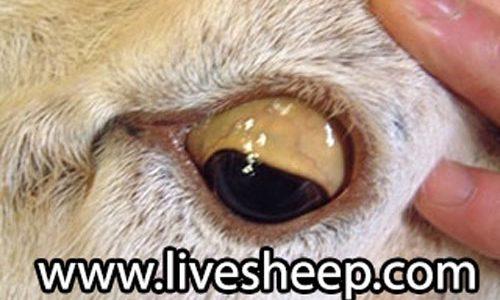 بیماری مسمومیت مس در گوسفند زنده